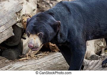 One malayan bear (Helarctos malayanus)