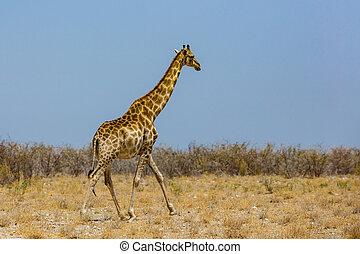 one male giraffe in savanna with bushes, blue sky