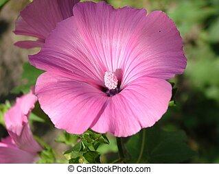 One malva flower