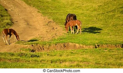 One mare and two foals grazing on pasture in mountains in...
