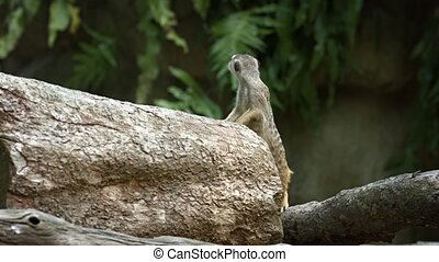 One meerkat protects the family from attacks from the air....