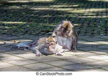 One monkey helps to get rid of fleas to another