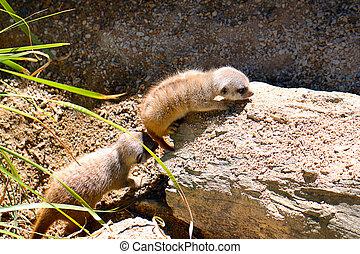 One Month Old Baby Meerkats - Suricata suricatta. Adelaide...