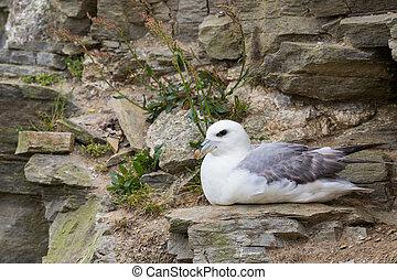 northern arctic fulmar (fulmarus glacialis) sitting on rocky cliff