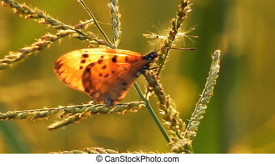 One of butterfly sitting on wildflower in the wind video HD