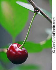 One of ripe cherry on the twig in the garden very close up
