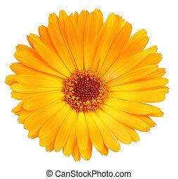 One orange flower of calendula. Isolated on white background. Close-up. Studio photography.