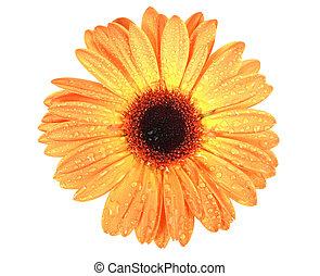 One orange flower with dew
