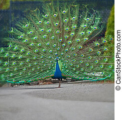 One Peacock with Plumage Display