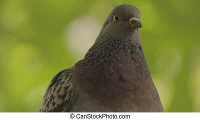 One pigeon close up from green background.