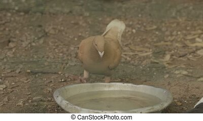 One pigeon drink water from bowl.