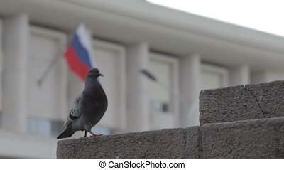 One pigeon on the street. Backgraund russian flag