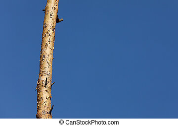 one pine tree on a background of blue sky