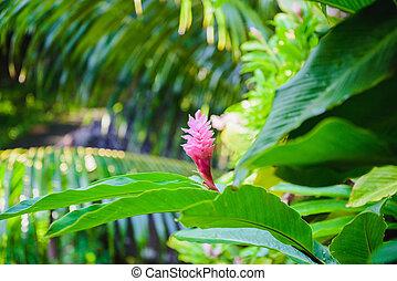 One pink blossom ginger flower in leaves