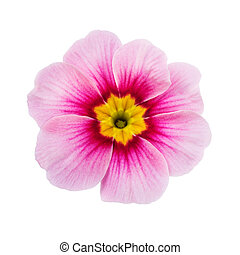 one pink flower isolated on white