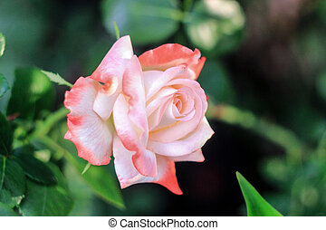one pink rose with green foliage