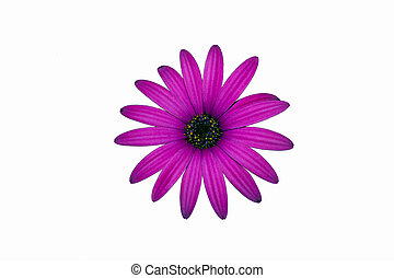 one purple flower isolated chamomile