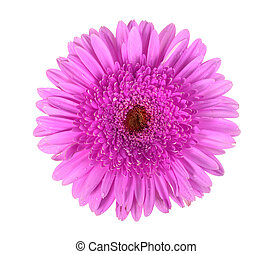 One purple flower with dew isolated on white background....