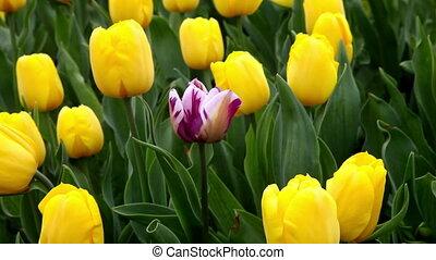 One purple tulip among all yellow