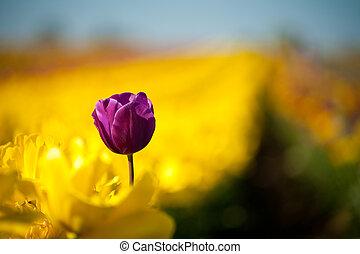 One purple tulip among row of yellow tulips