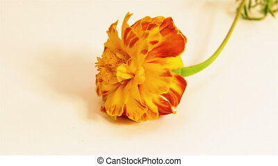 one red flower - One yellow red flower rotating on white...