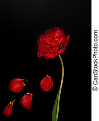One red fluffy tulip with fallen petals