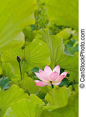 One red lotus surround by green leaf on the water pond.