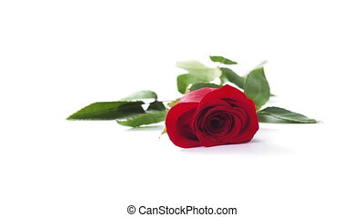 one red rose falling on white background in slow motion, ...
