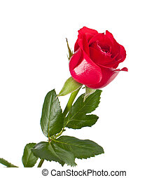 One red rose isolated on white background