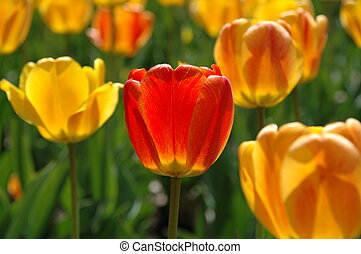 Backlit tulips with one central red/orange among several lighter yellow and orange ones