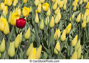 one red tulip between a lot of yellow flowers and buds in dutch flower field