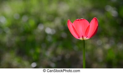 One red tulip in  breeze