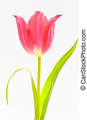 One red tulip isolated