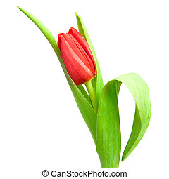 red tulip - one red tulip isolated on white