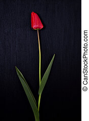 One red tulip on a black surface