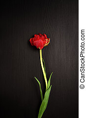 One red tulip on a black surface,
