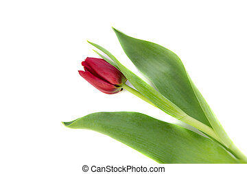 tulip on a white background