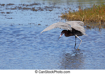 Reddish egret hunting in a shallow estuary