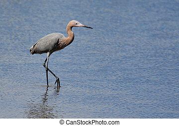 Reddish egret wading in a saltwater marsh