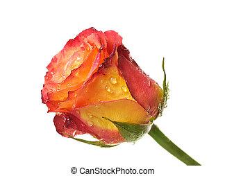 One rose