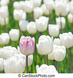 One rosy tulip in a field of white tulips - vertical flowers background