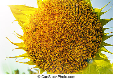 One round sunflower against the sky with sun rays and highlights on a summer day