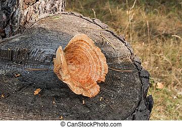 One Saffron Milk Cap on natural wooden background.