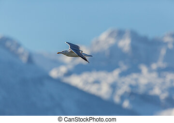 one seagull in flight with snowy mountains and blue sky