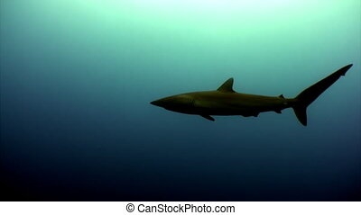 One shark in an empty monophonic blue calm water. There is...