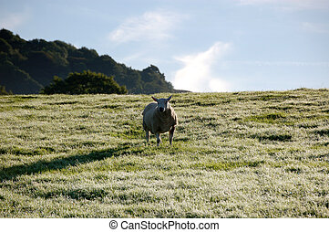 One sheep in a frosty field in crisp morning sunlight