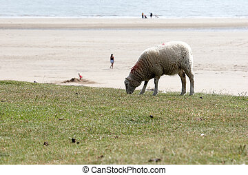 One Sheep With Beach in Background