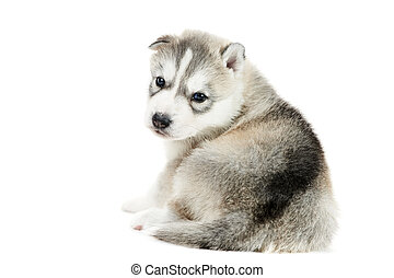 one Siberian husky puppy isolated - one little cute puppy of...