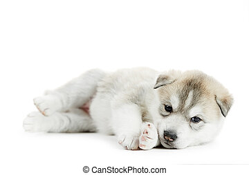 one Siberian husky puppy - one little puppy Siberian husky...