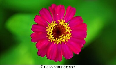 One Single Pink Zinnia Flower Footage Bokeh Backdrop - ...